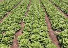 生菜科学施肥技术