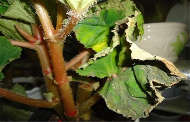 瓜叶菊刚买来叶子蔫了图片