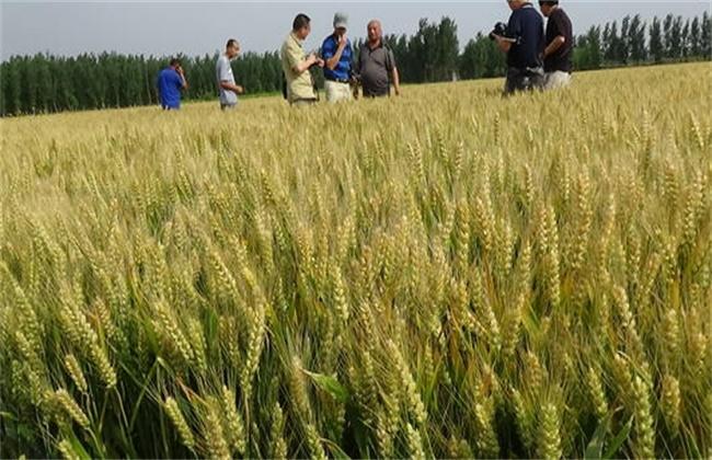 小麦 增产增收 新技术