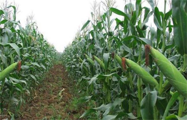 糯玉米 种植技术 管理