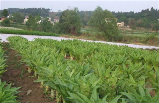 莴笋 育苗技术