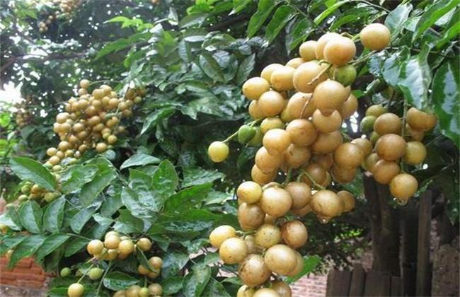 黄皮果黄叶原因及防治方法