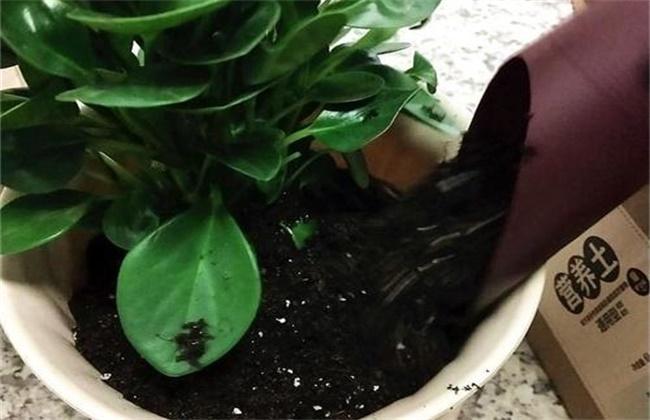 豆瓣绿叶子发黑图片