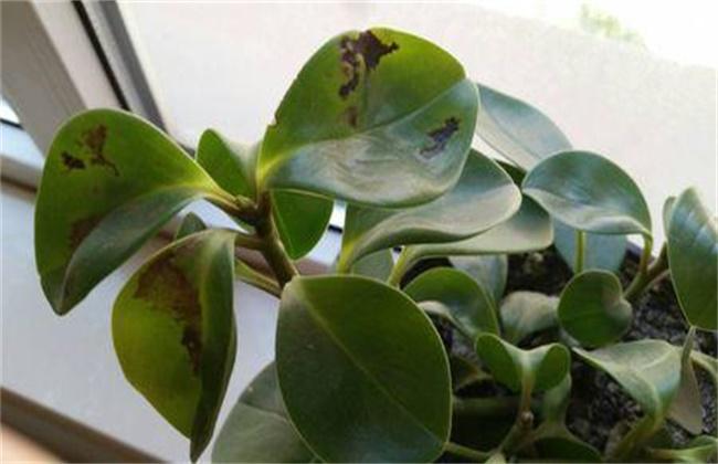 豆瓣绿叶子发黑卷缩图片