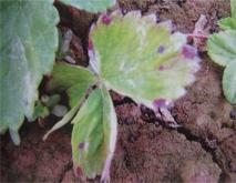 草莓角斑病的防治措施