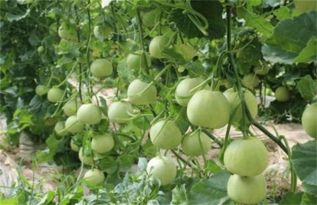 露地香瓜的种植技术