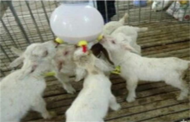 羔羊 人工哺乳方法