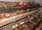 鸡舍潮湿对鸡有什么影响