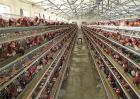 如何预防鸡舍潮湿