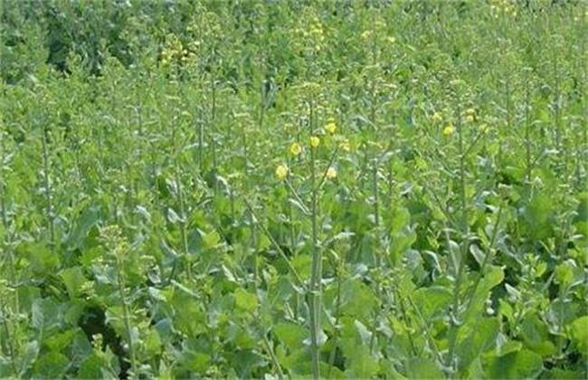 油菜苗弱长不高的原因及解决措施