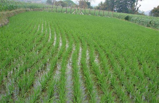 早稻插秧和管理技术