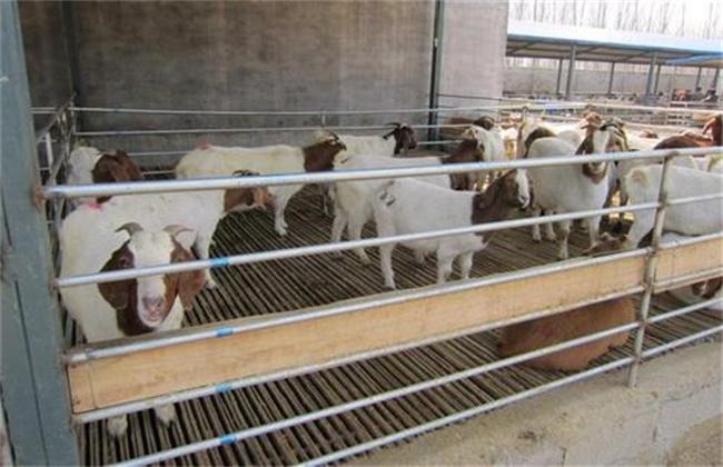 山羊 短期育肥技术