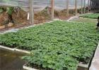 苦瓜春季种植如何育苗
