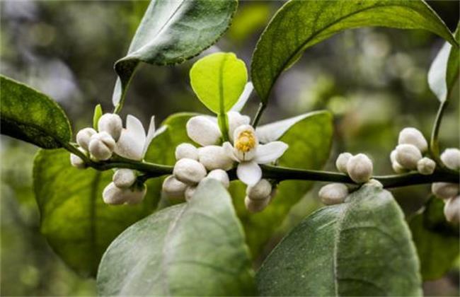 砂糖桔卷叶原因及防治方法