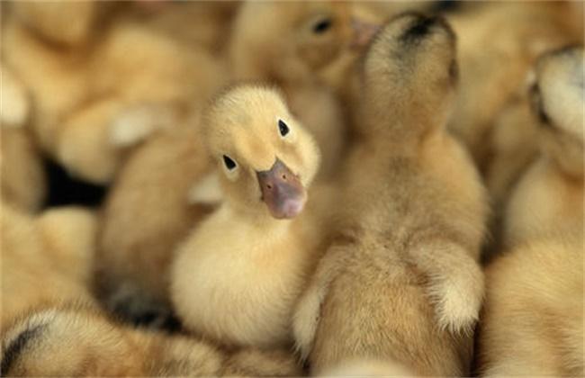 鸭雏啄毛是怎么回事
