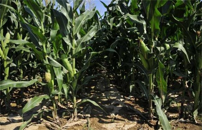 玉米后期抗旱措施