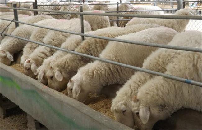 肉羊育肥技术要点