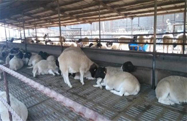 种公羊 饲养管理要点