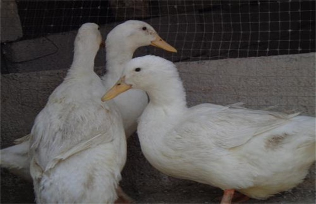 种鸭的饲养与管理技术