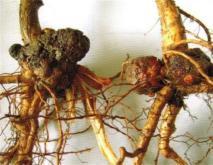 猕猴桃根癌病的防治方法