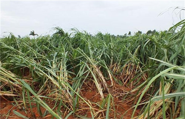 甘蔗倒伏原因及预防措施