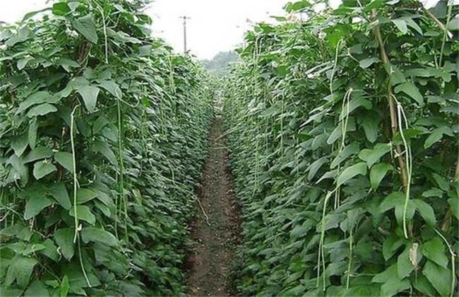 番茄套种豆角 种植技术