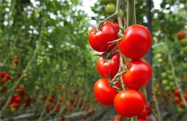 番茄套种 注意事项