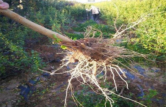 石榴树起苗方法及注意事项