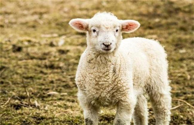 饲养小羊的注意事项
