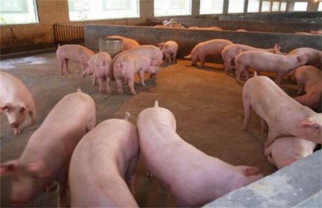 养猪时常见的错误喂养行为
