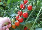 番茄套种注意事项