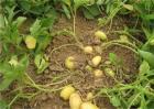 土豆只长秧不结薯预防和补救措施