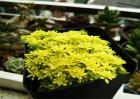 黄金草的养殖方法和注意事项