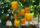 甜椒种植管理技术