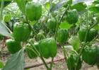 甜椒落花落果的原因