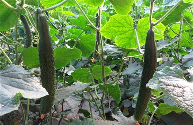 黄瓜 连续结瓜 种植技巧