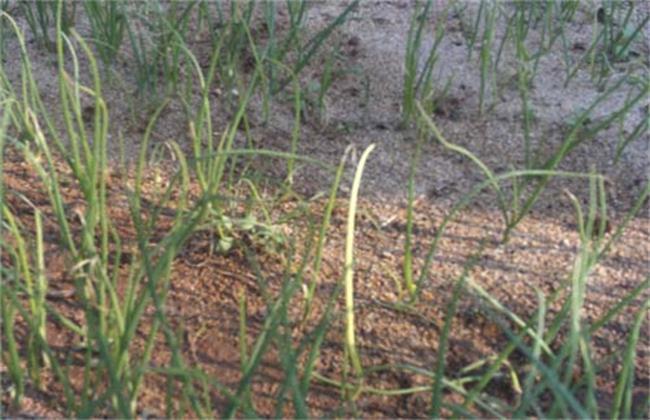 洋葱苗期病虫害综合防治措施