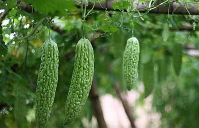 苦瓜反季节种植技术