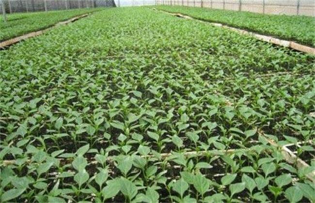 甜椒 育苗方法