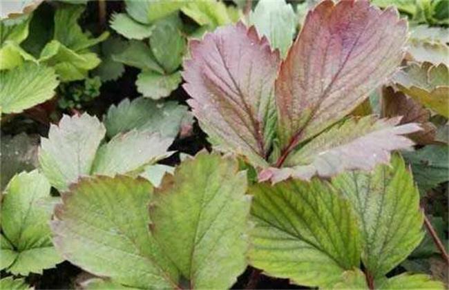 草莓缺素症危害及预防措施