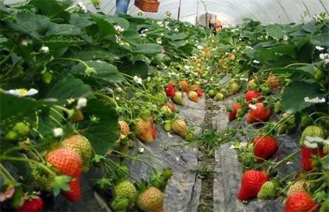 草莓如何选种