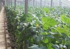 大棚黄瓜春季管理技术