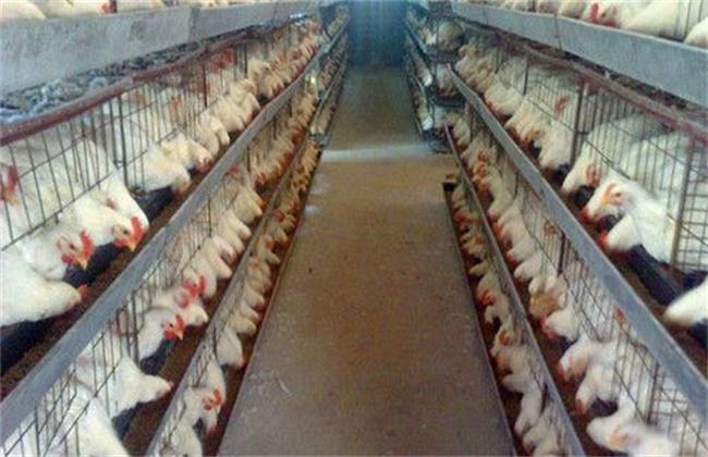 高温下 肉鸡 营养调控