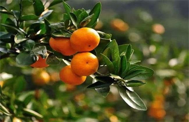 促进 柑橘长个 措施
