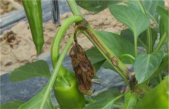 辣椒茎杆发黑是什么原因