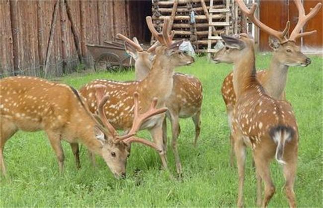 怎样养好 仔鹿