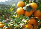 促进柑橘长个的措施