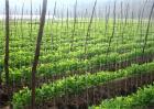 菜豌豆死苗原因及预防措施
