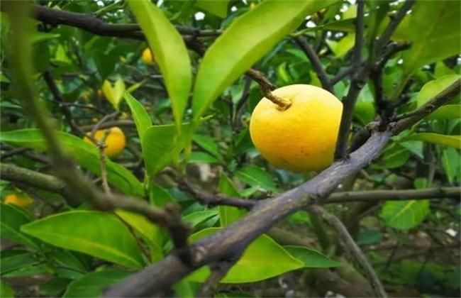 脐橙树 花果期 管理要点
