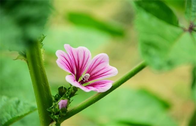 锦葵花的养殖方法和注意事项